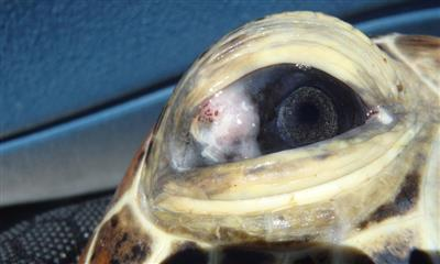 turtle-eye-infection